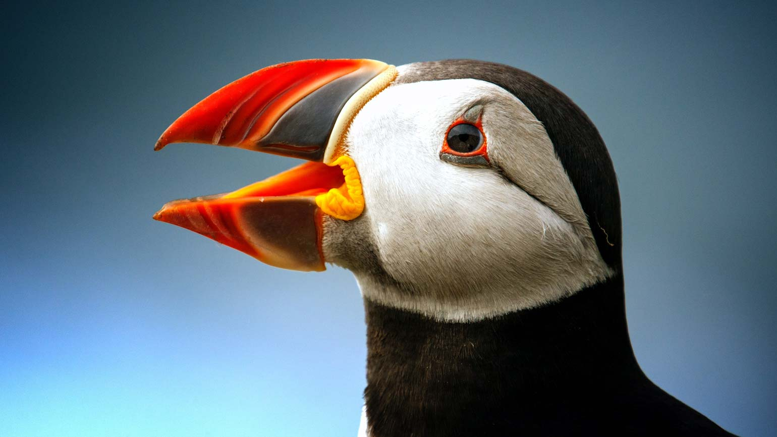 Jersey's Atlantic Puffin