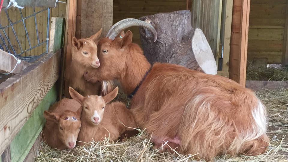 Golden Guernsey Goat Family